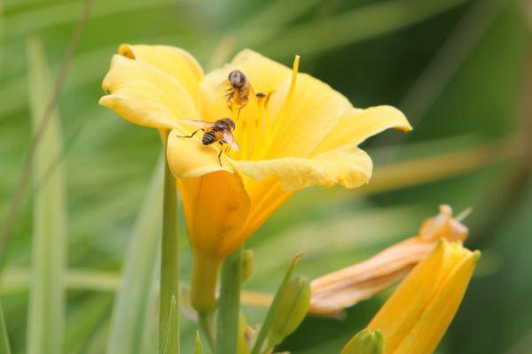 mirusių bičių hipertenzija gydymas